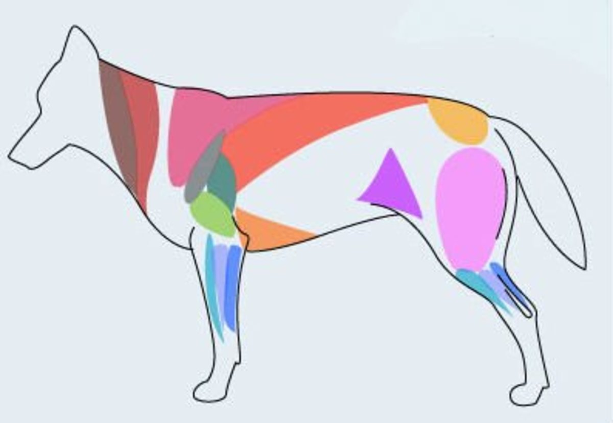 When drawing most animals, I find the most useful muscle definitions to be the purple triangle at the groin, the pink cape atop the shoulder, and the neck muscles.