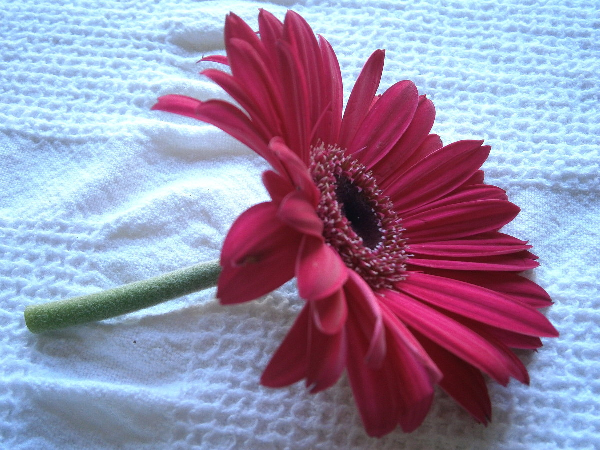 Pink Gerber daisy all ready for wiring.