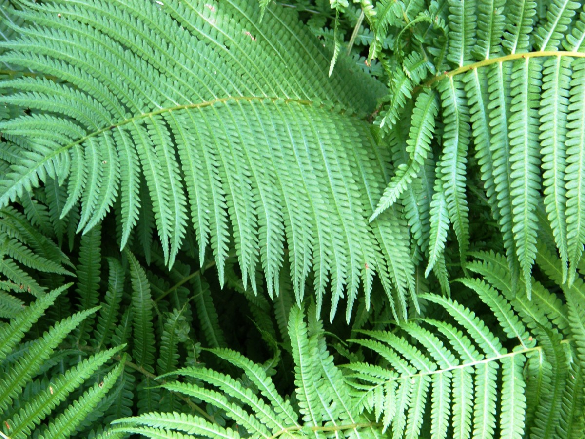 Ferns (Morguefile Free license)