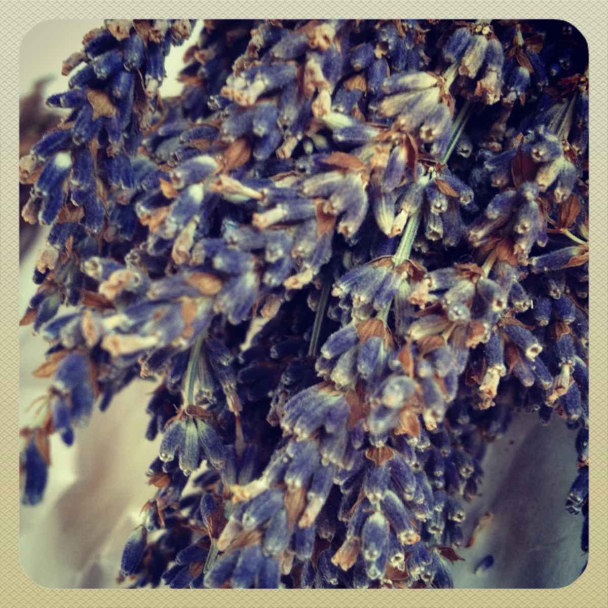 French lavender flowers close up