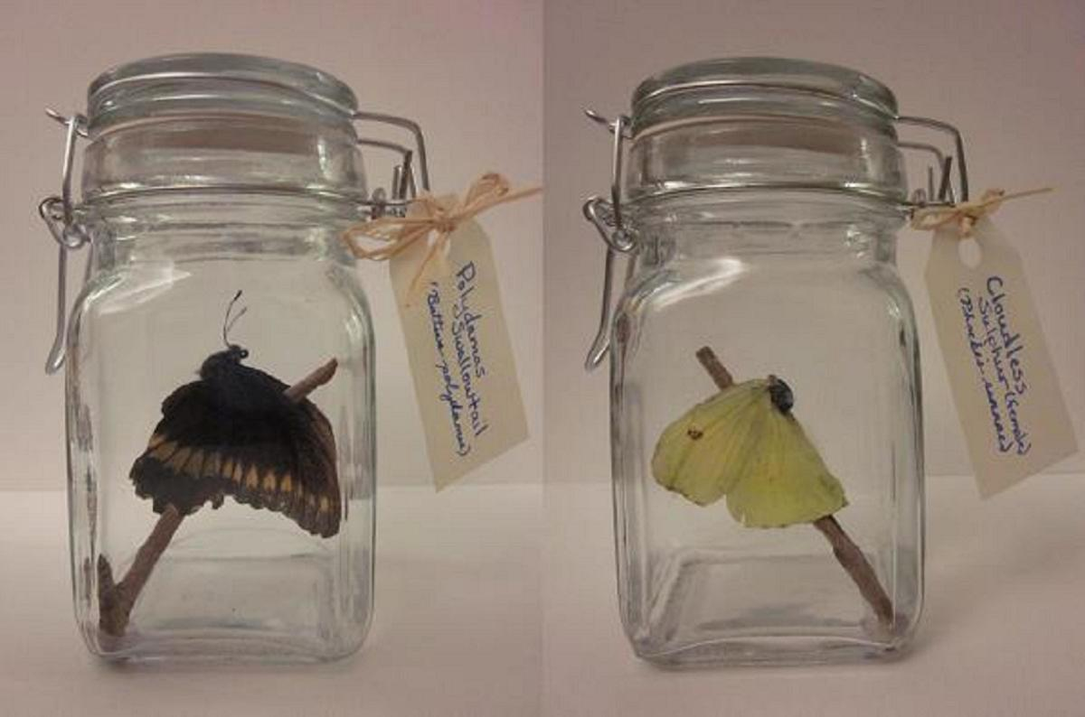 Completed craft displayed with optional tags identifying the species of butterfly.