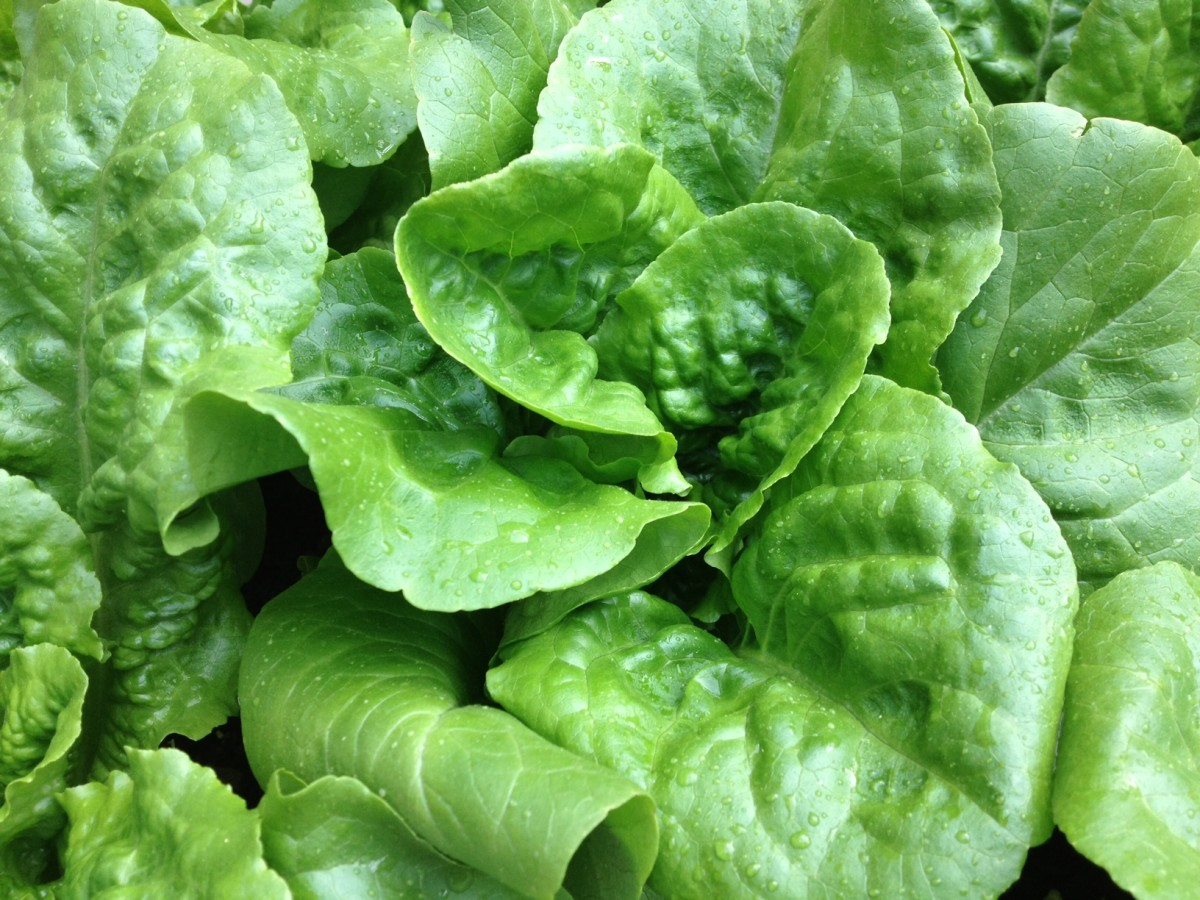 a-how-to-guide-constructing-a-lettuce-bench-for-nearly-year-round-salad-greens