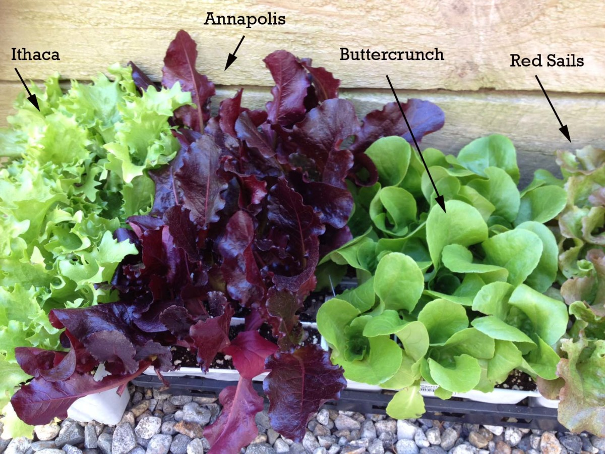 We like a variety of colors and textures in our salads, so we chose three different lettuces for our bench. We couldn't resist the Ithaca, but we ultimately didn't have enough room to plant it in our salad bench.