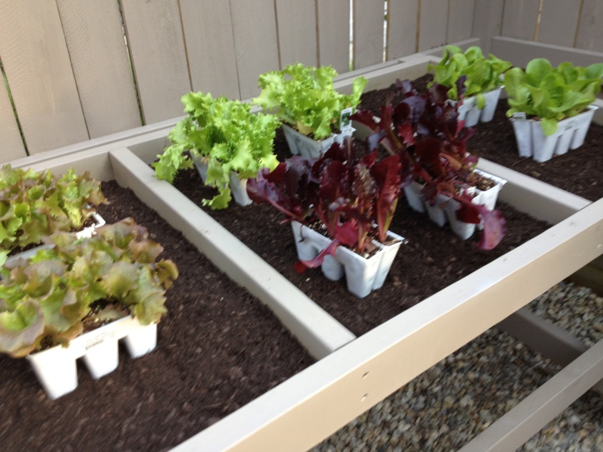 Before you begin to plant, decide where you want your lettuces to be.
