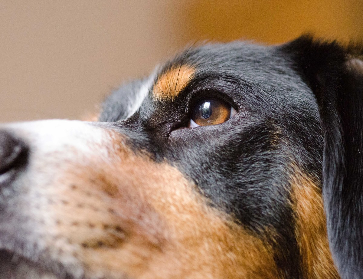 The eye is in focus, but the narrow depth of field has blurred out the dog's nose and the background at 1/320 sec and f/2.8