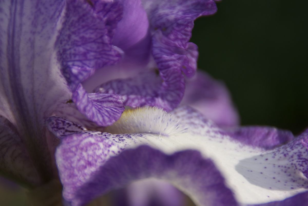 This Iris picture was taken without any accessories.  Irises work well with the low F-Stop and a flash since they are typically two or three feet above the ground (which is typically darker).