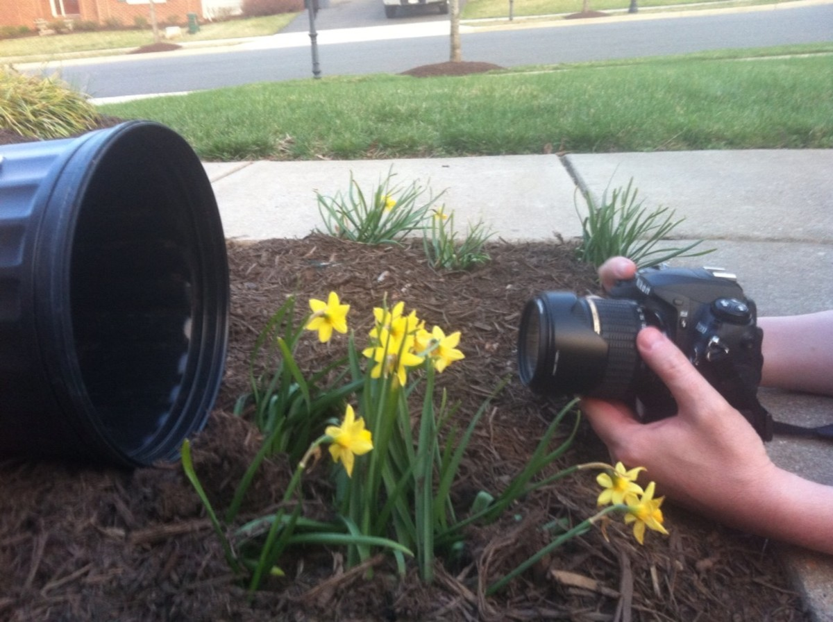 My miniature daffodils and the bucket method.  I did not use my Macro lens on this one.