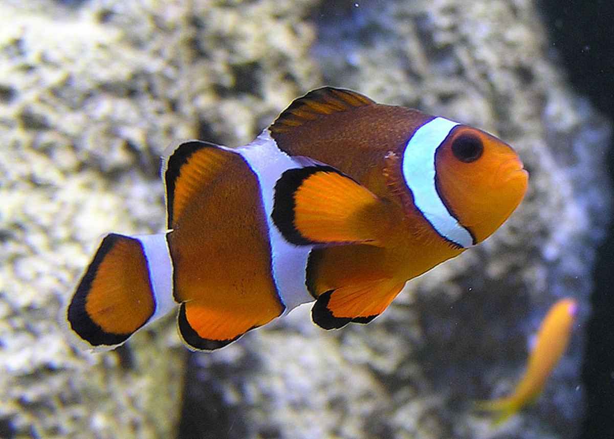 Clown Fish at Bristol Zoo Aquarium, Bristol, England.