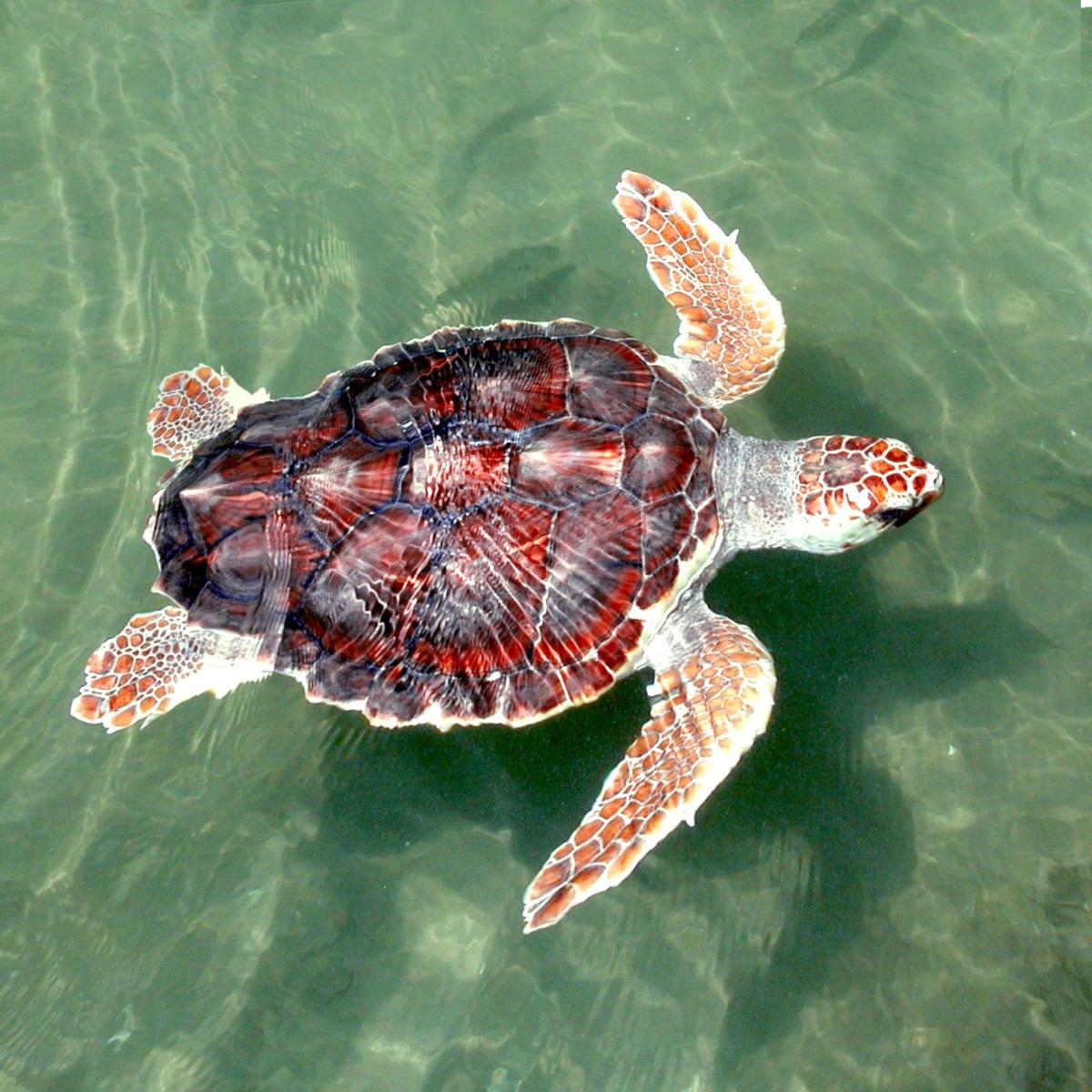 A young loggerhead sea turtle (Caretta caretta) photographed near Panama City, Florida.