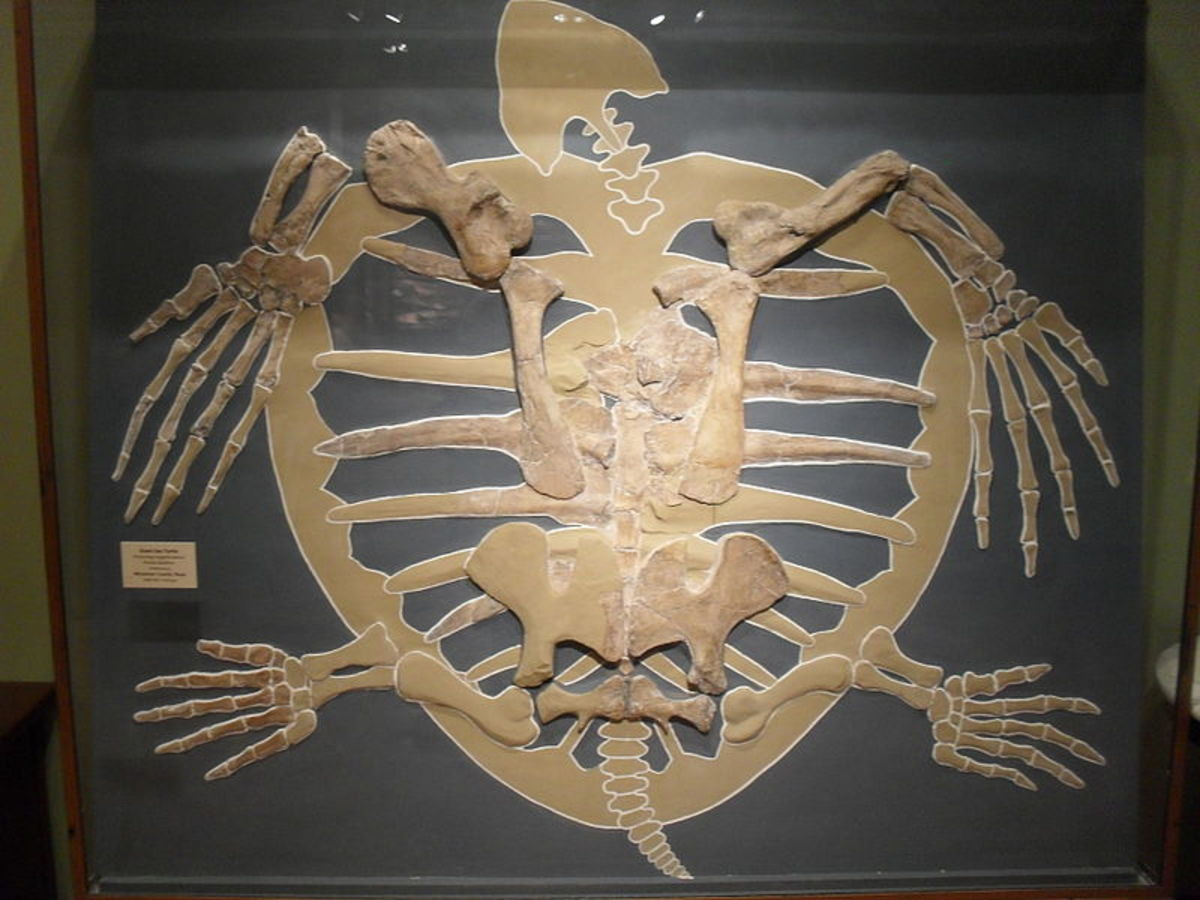 A fossilized sea turtle skeleton.