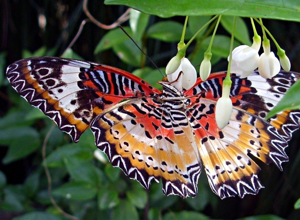 Red Lacewing Butterfly (cethotha biblis)