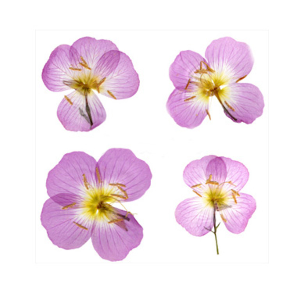 Flowers with less bulky stems and buds press much better and can achieve a papery thinness.