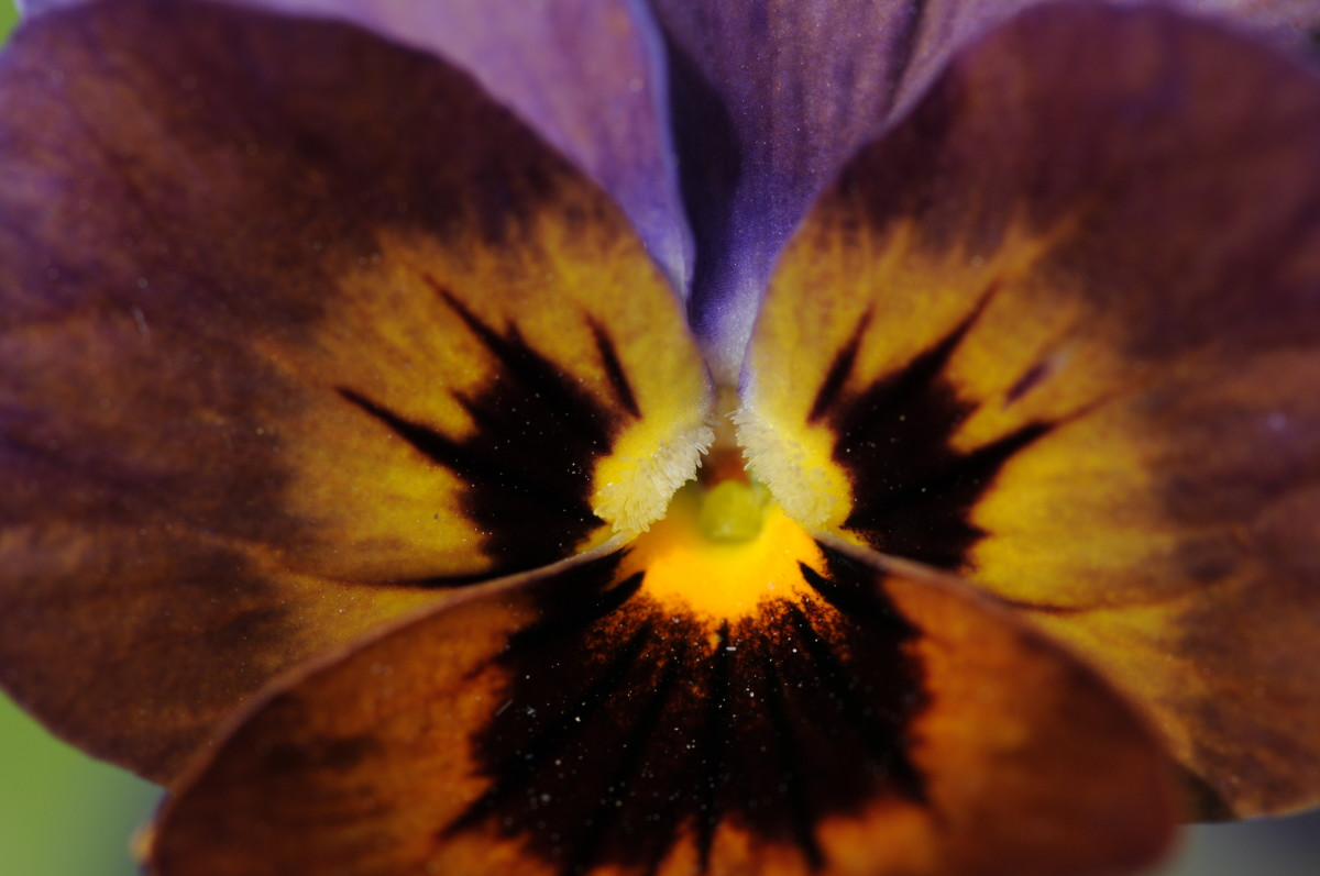 Close up image of a Pansy
