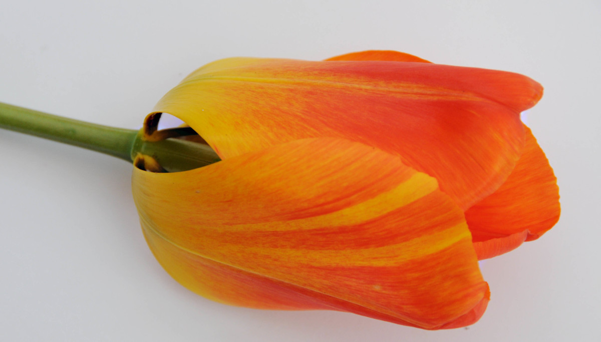 Markings on the Tulip Petals