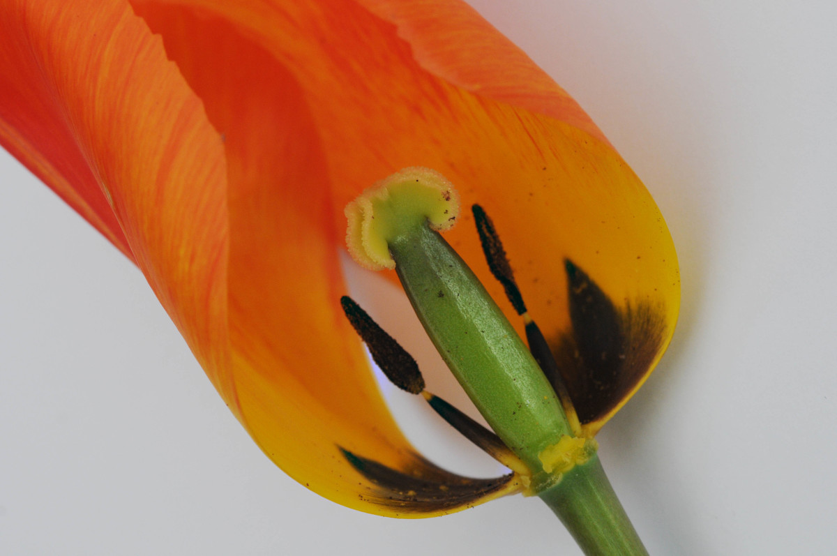 Peering into the interior of a Tulip