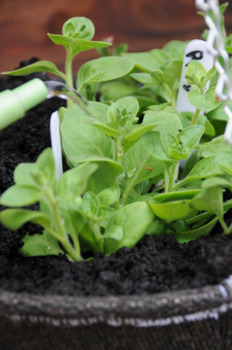 Herb and salad planting
