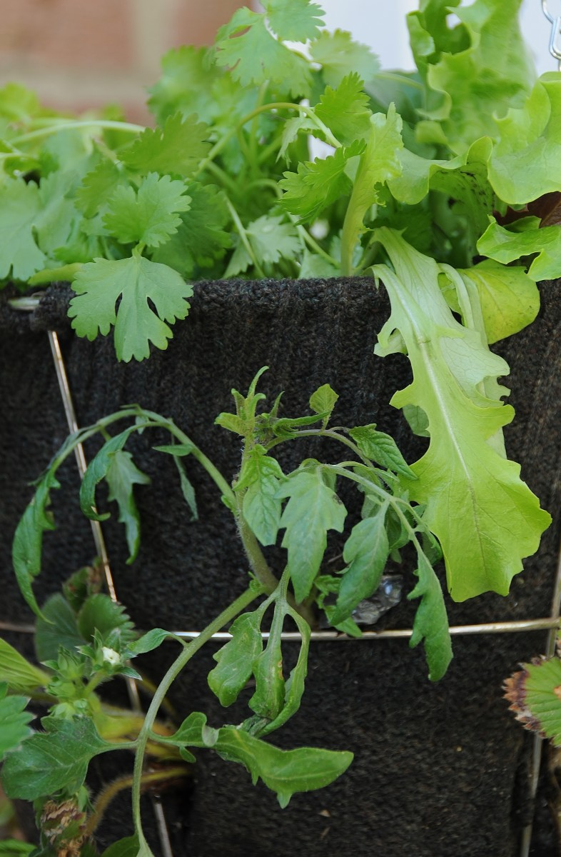 A hanging basket filled with Coriandar, Basil, Tom Tom Trailing Tomatoes and Lettuce and a few Strawberries