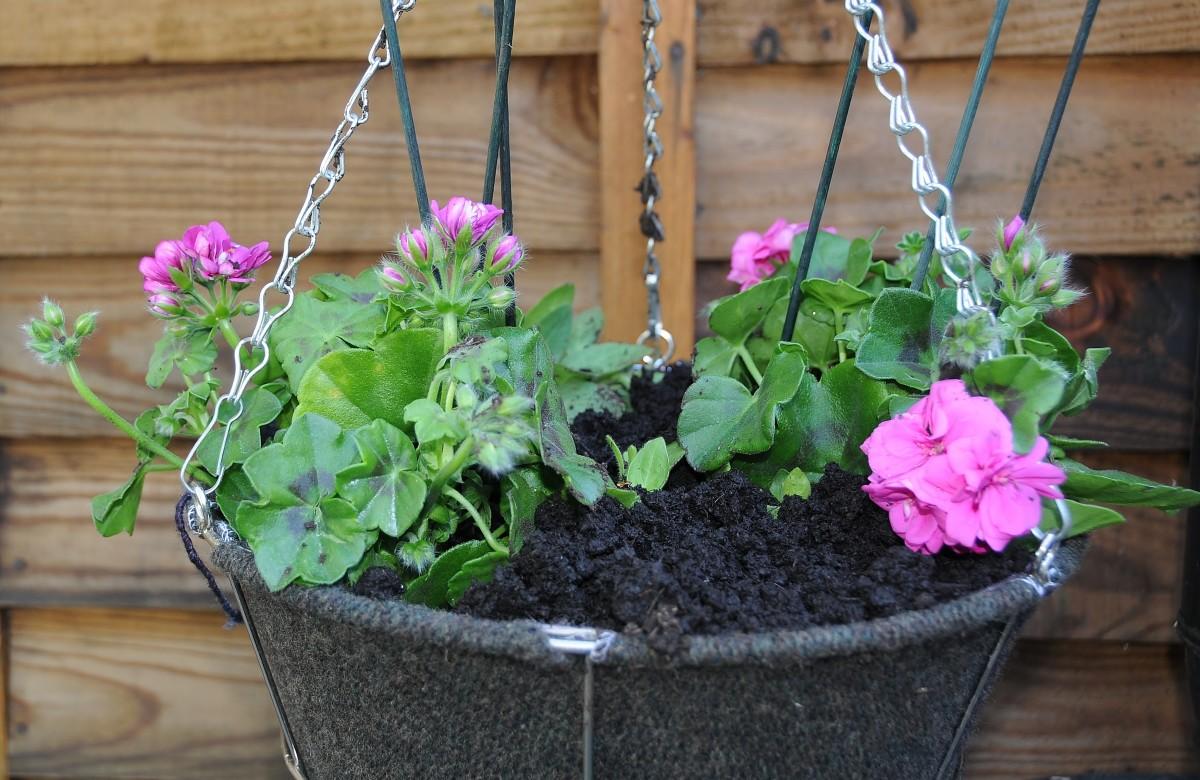 Hanging basket, trailing Geraniums