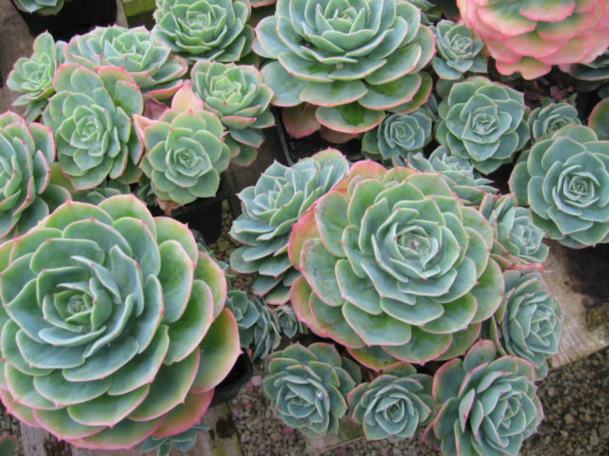 Echevaria plant and mathematical harmony
