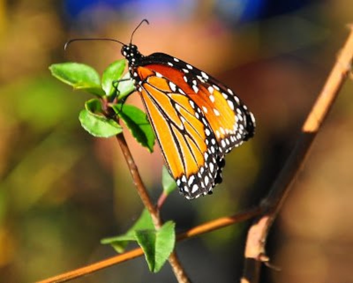 Reference photo for Monarch Butterfly: This photo was posted by the online painting challenge coordinated by Lela Stankovic.