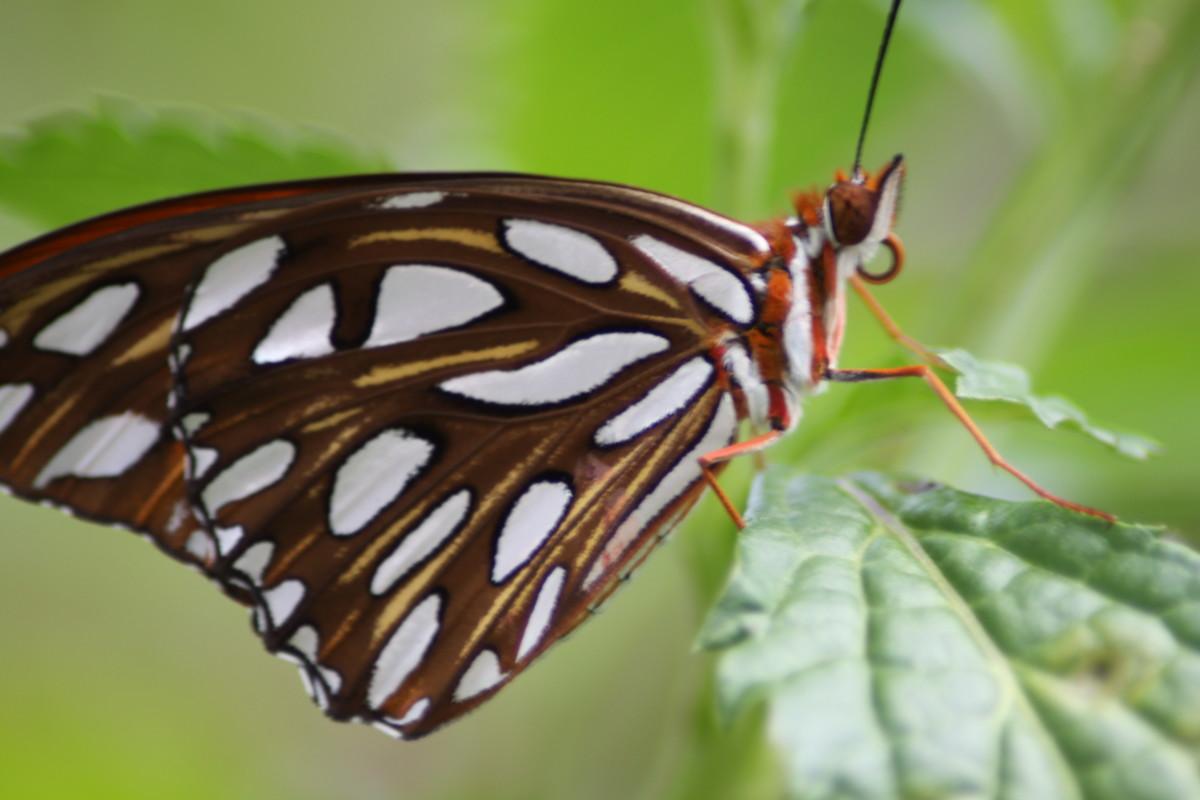 Monarch Butterfly (Danaus plexippus), my backyard