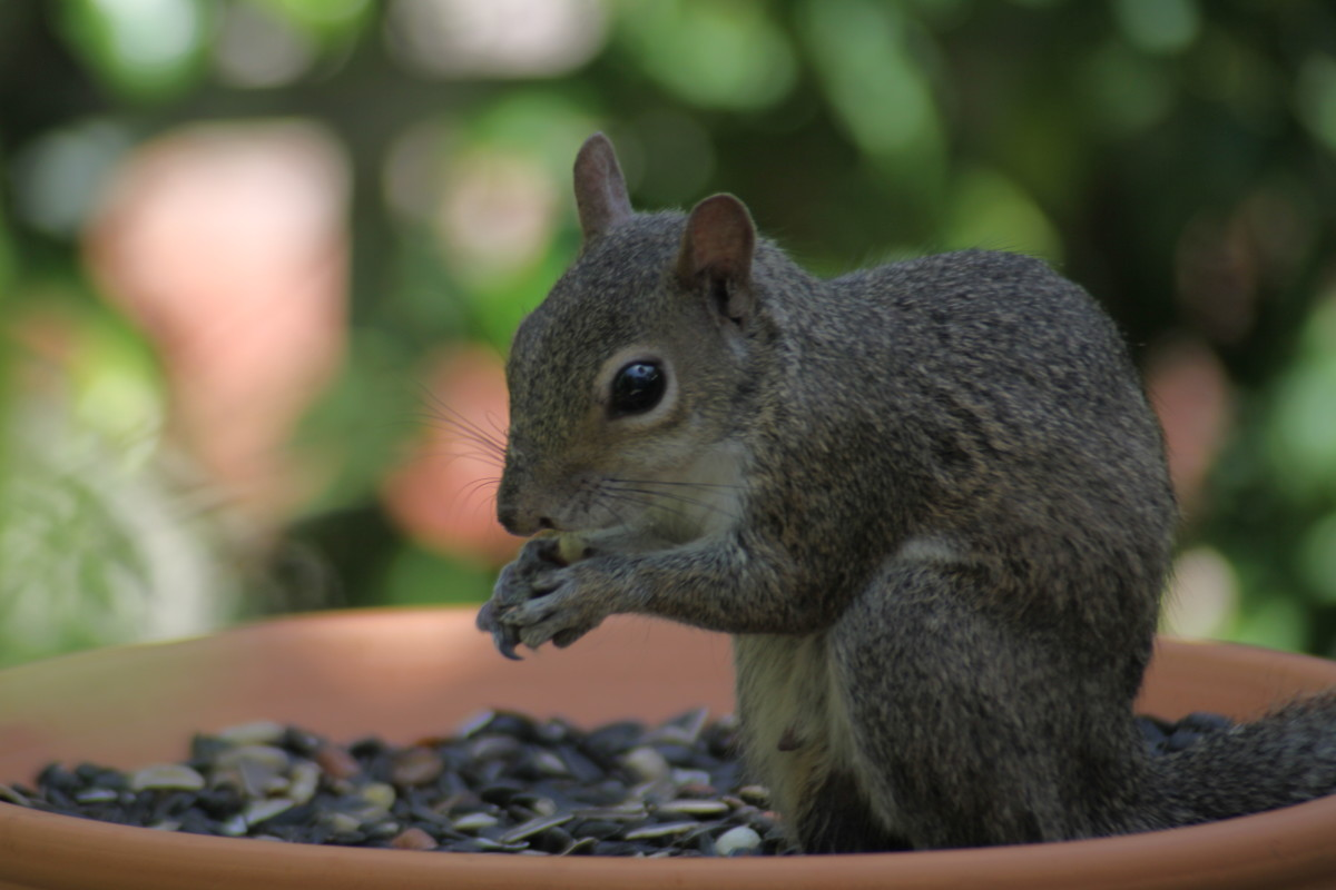 Eastern gray squirrel (Sciurus carolinensis), my backyard. Notice how blurring the background emphasizes the squirrel?