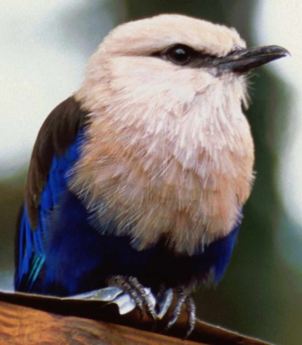 Blue bellied roller (Coracias Cyanogaster) Guatemala