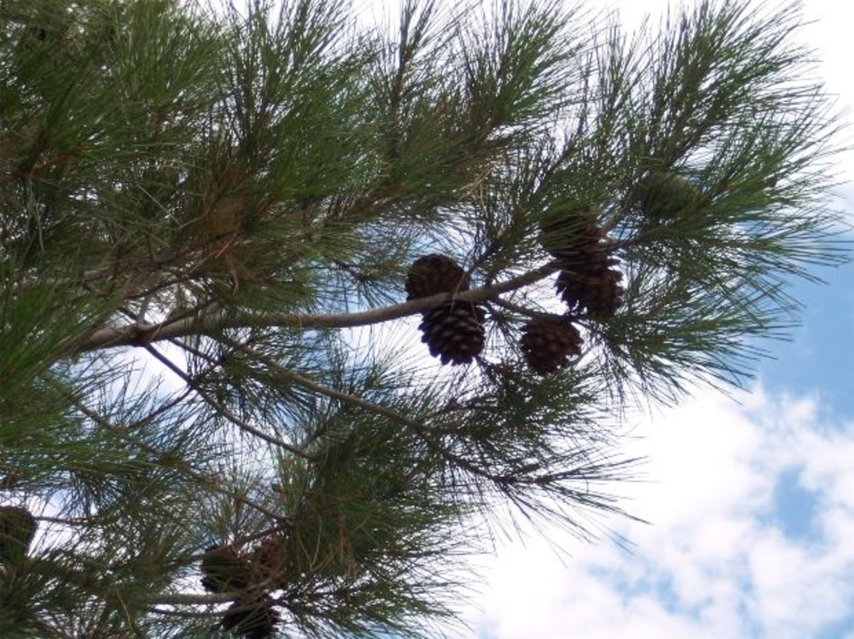 Pine cones. Find them yourself, or pick up a package of them at a craft store!