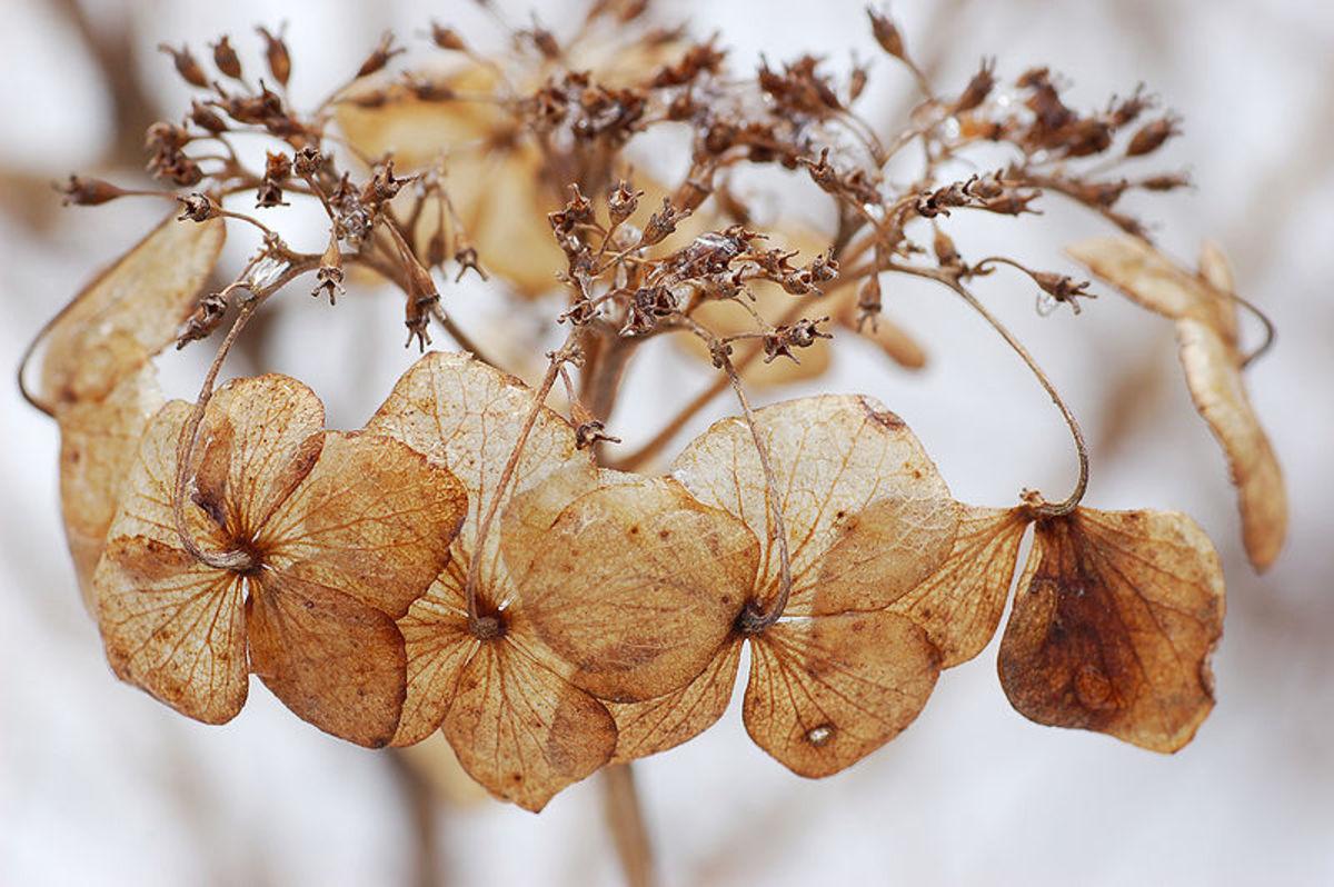 Bigleaf Hydrangea Hydrangea macrophylla 'Tokyo Delight' Flowers