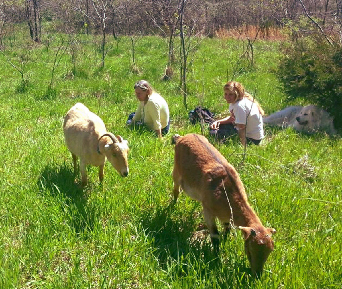 Pasturing the goats in spring. I am the old lady. The pretty one is my daughter. The dog is part Great Pyr and part Akbash and is a herding dog. His name is Boaz. The (mostly) white goat is named Winnie, but I can't remember the other goat's name.