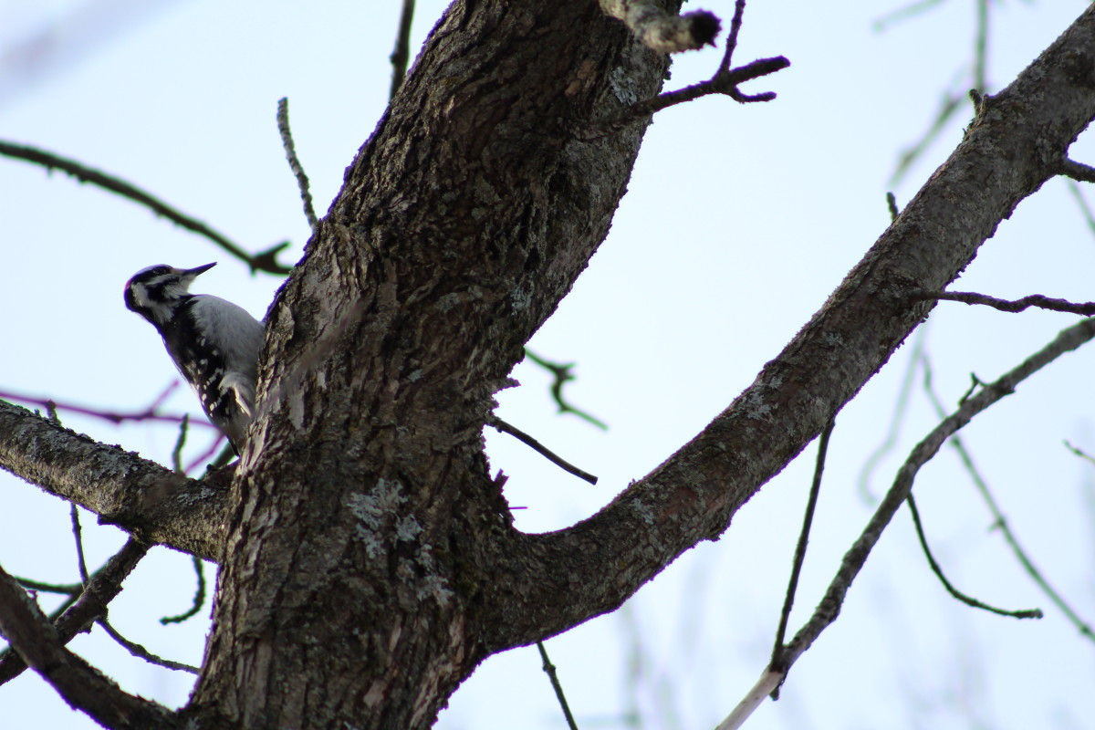 Woodpecker Pecking On A Tree