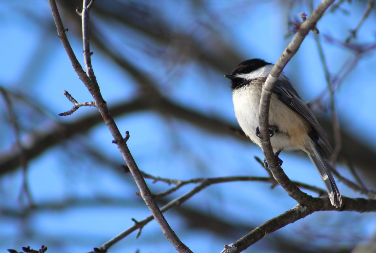 Chickadee Resting On A Tree Branch