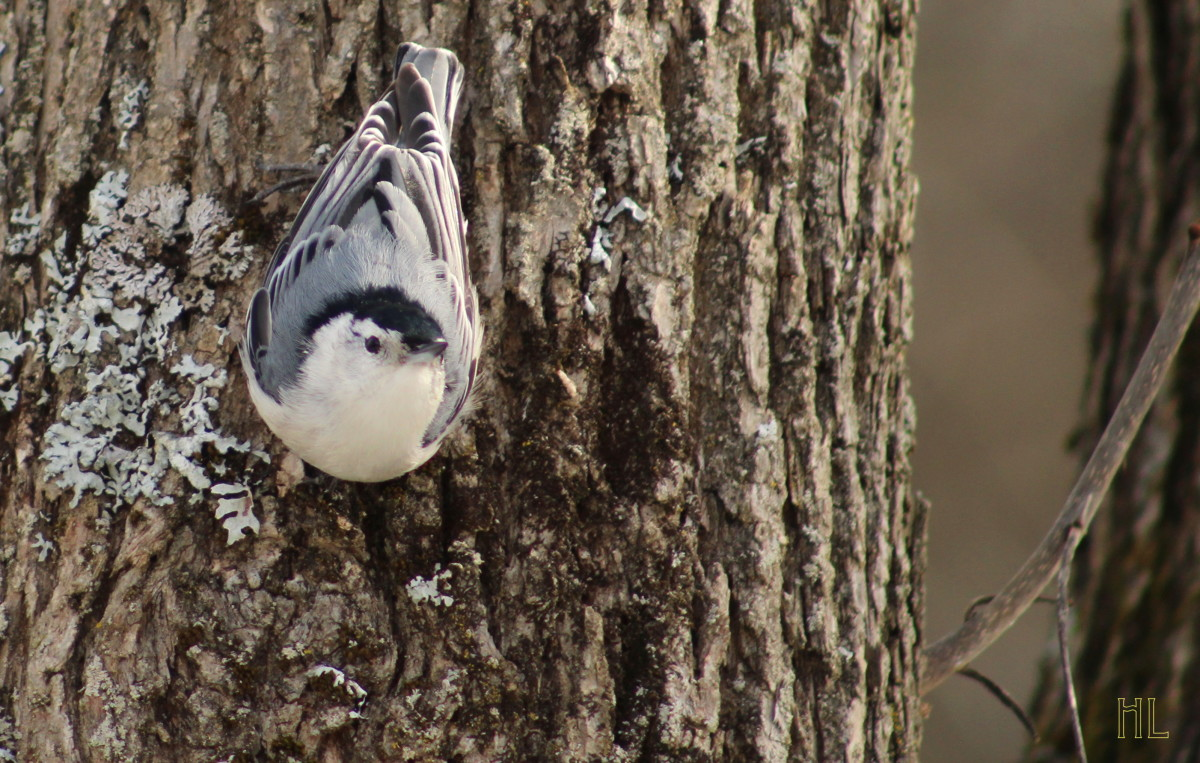 Nuthatch Resting On A Tree Trunk