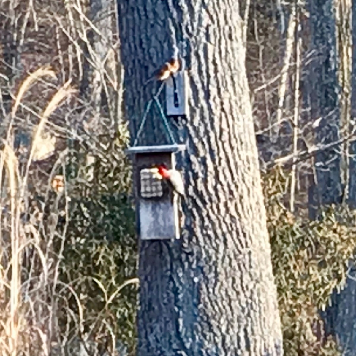 Two bluebirds and a redheaded woodpecker compete for a meal