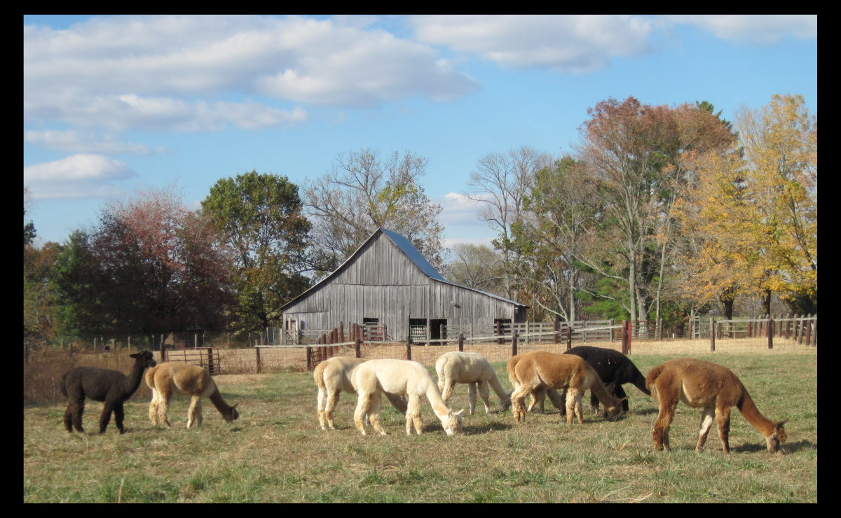 Alpacas grazing on my farm.
