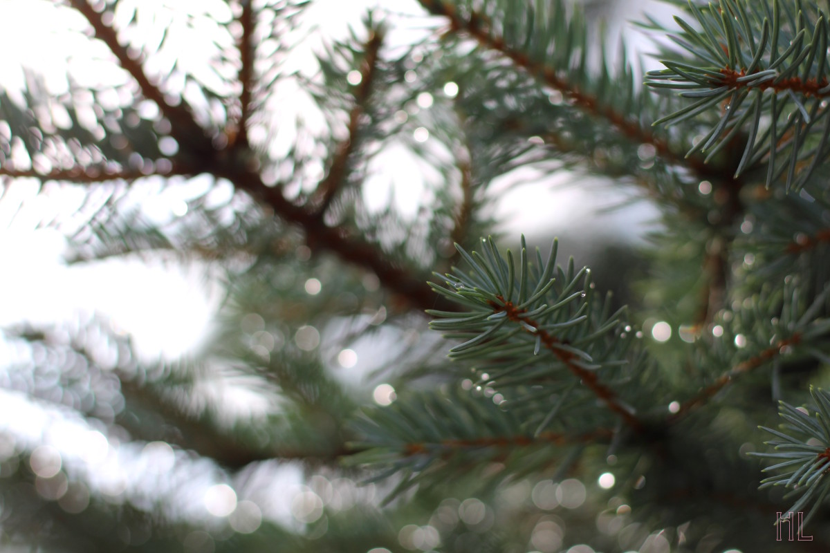 Rain Droplets On A Spruce