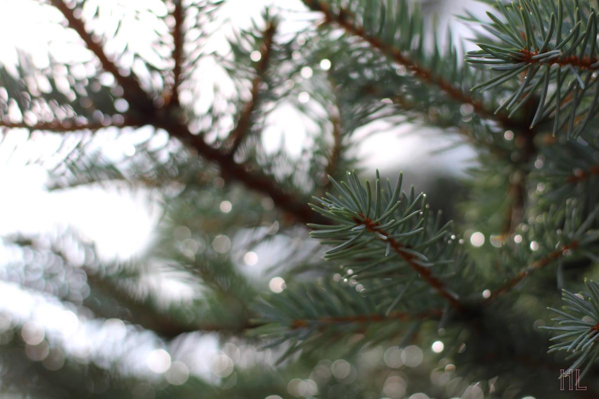 Rain droplets on a spruce