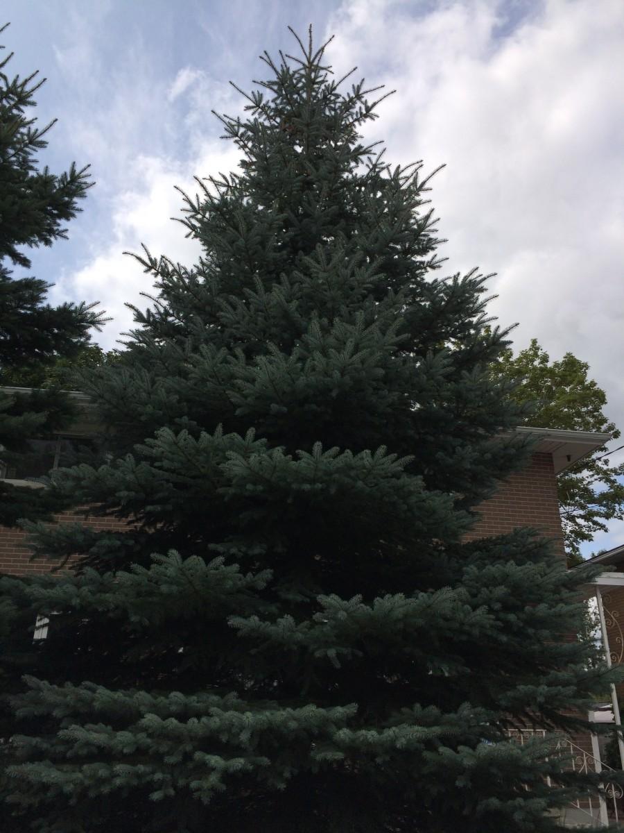 It took a long time to identify this conifer.