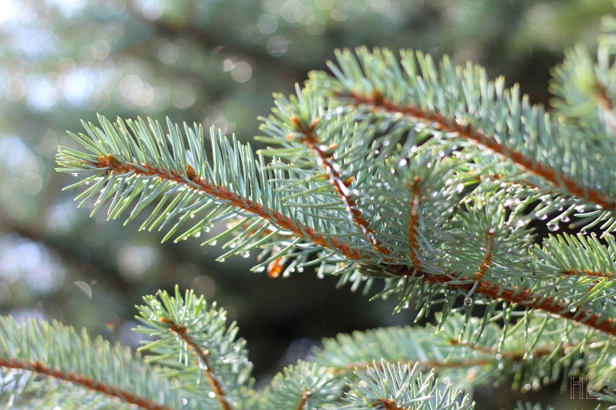 Spruce Needles After The Rain