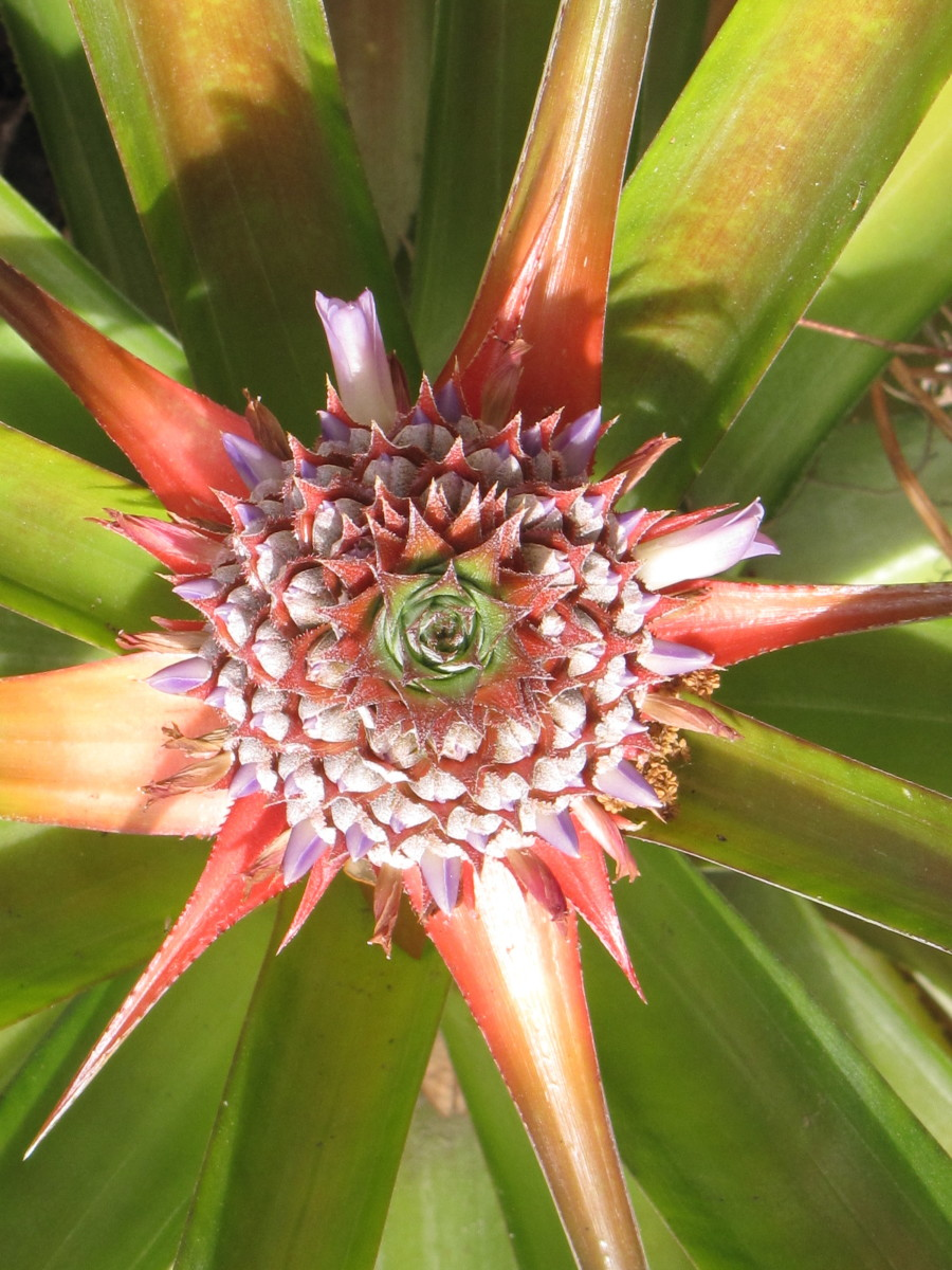 This is a Pineaple Plant that my Mother is growing in Kissimmee, Florida. The center of the image shows a developing Pineapple fruit. It is being shot from as directly above as possible.