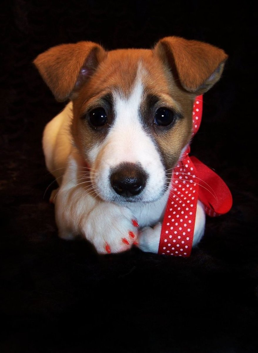"""""""Jack Russell Puppy."""" I am a professional dog groomer by trade, so I will take a few pics of my clients. I always take great care to capture as much of the animal's personality as I can. Zoe was a doll!"""