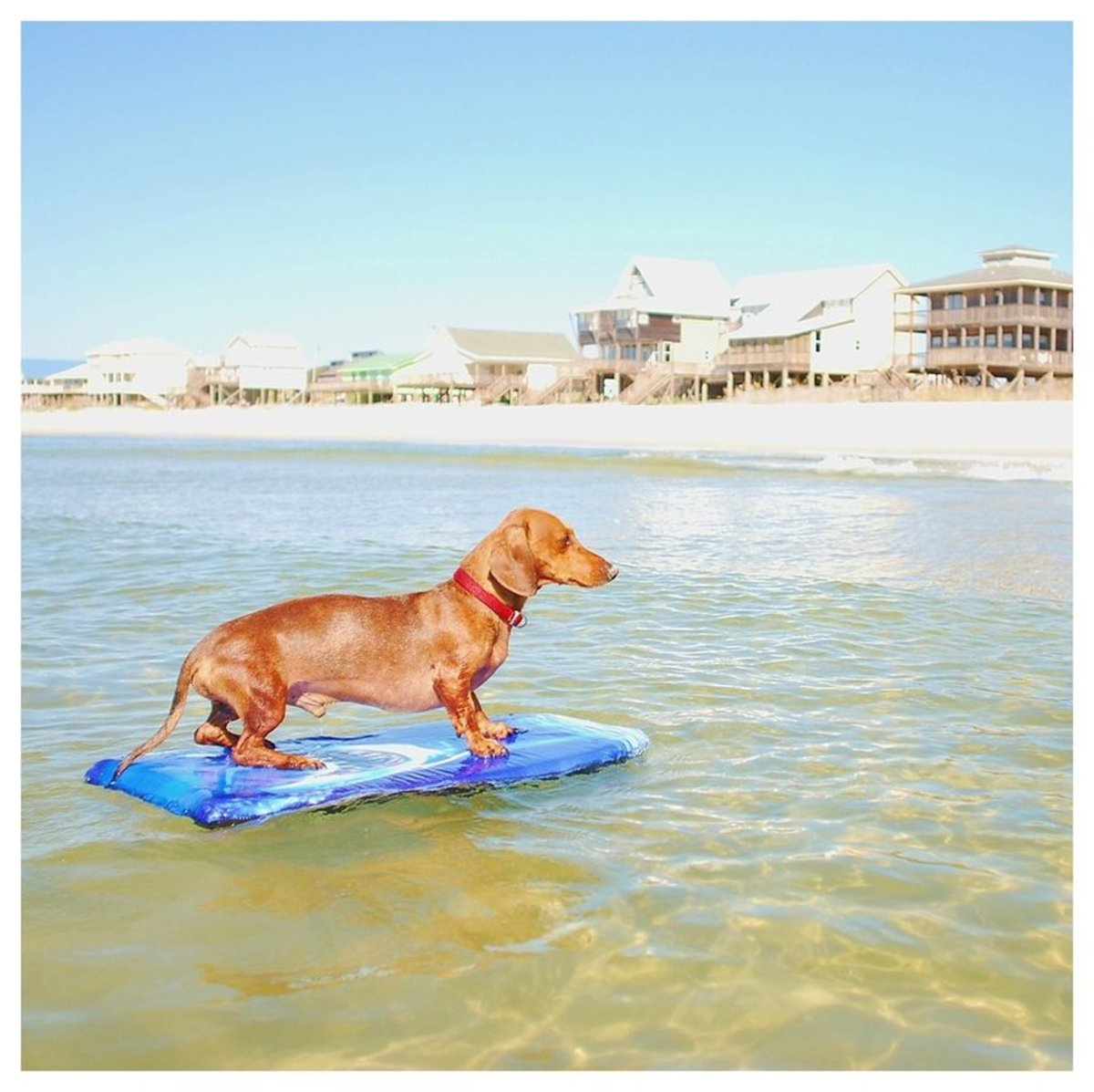 """""""Oota."""" This is Oo-Oo, or Oota, our family's beloved daschund. He went to the beach every year and surfed in the ocean waters of Gulf Shores, Alabama. Now that he has passed on, this image brings back the most wonderful memories."""
