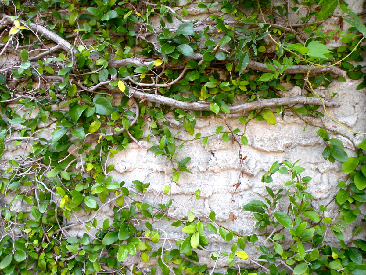 Creeping fig vines cover many of the walls.