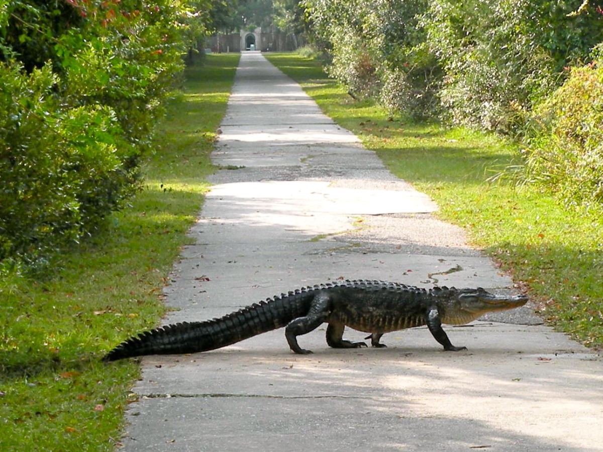 An alligator crosses the driveway near the entrance to Atalaya.