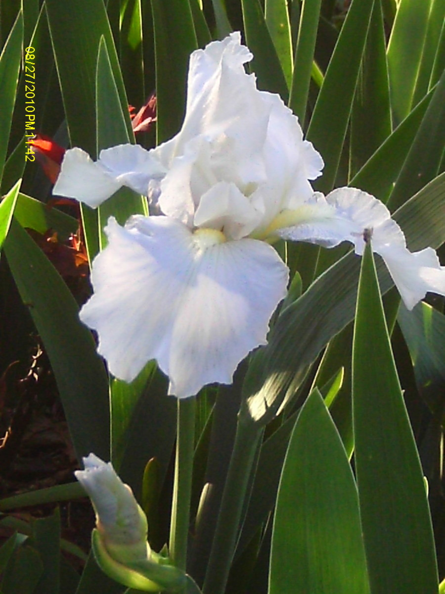 Iris is the birth flower symbolizing inspiration.