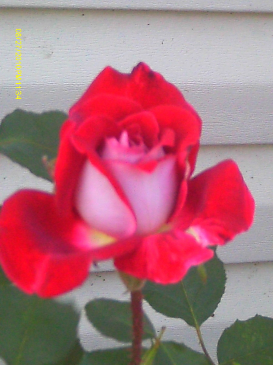 The rose is June's birth flower.