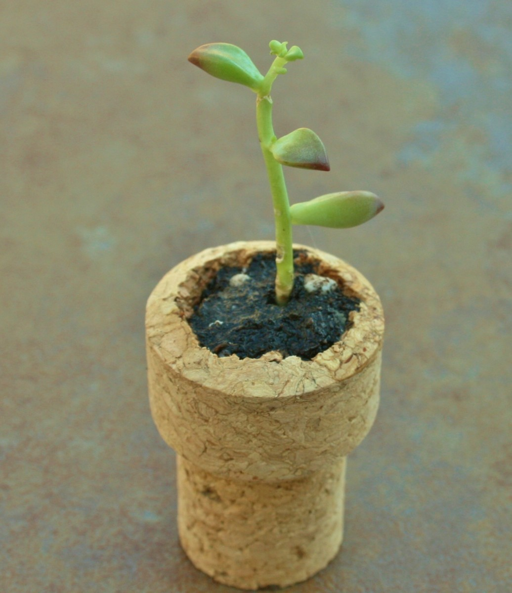 Carve out the distended end of the cork so that the mini planter sets on a flat bottom.