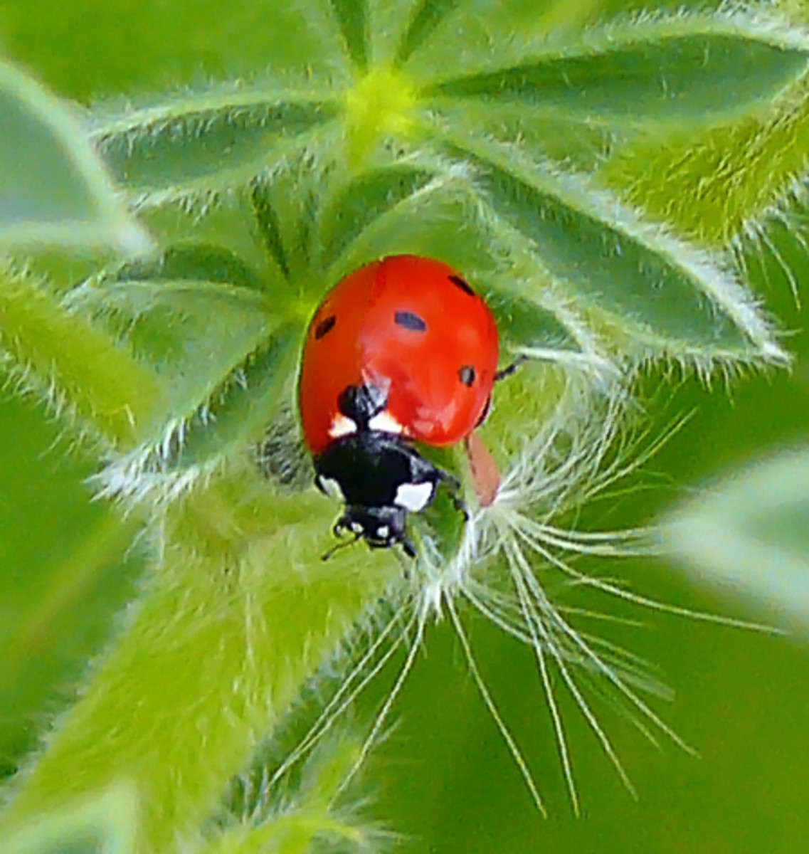 Attracting Ladybugs into the garden