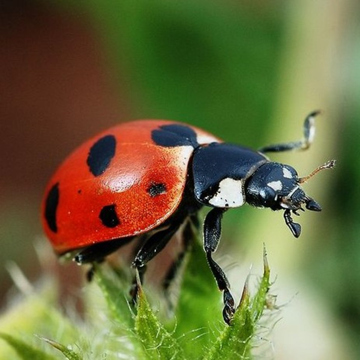 A hungry ladybug on the hunt.