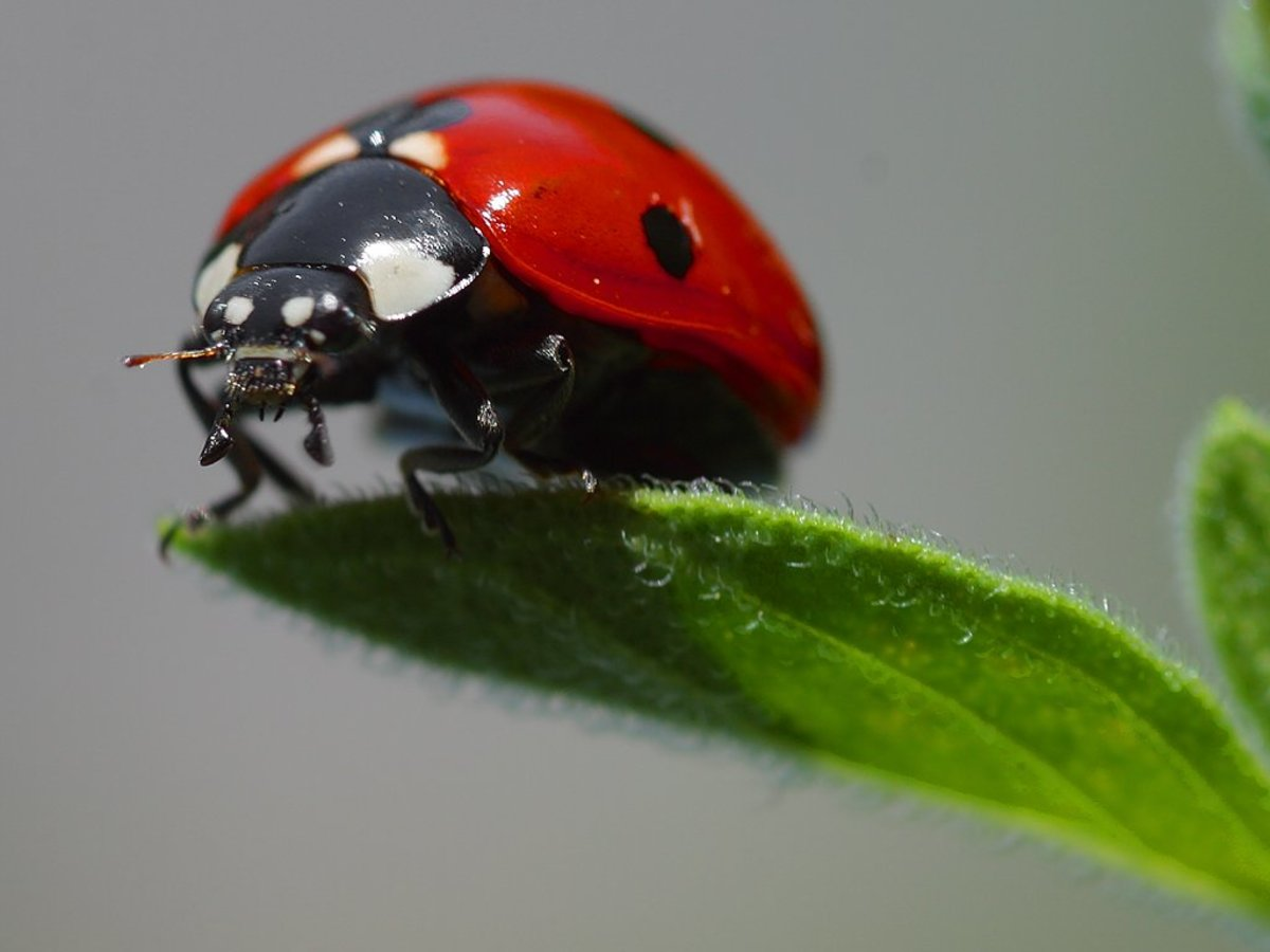 Many cultures value ladybugs as a sign of good luck.